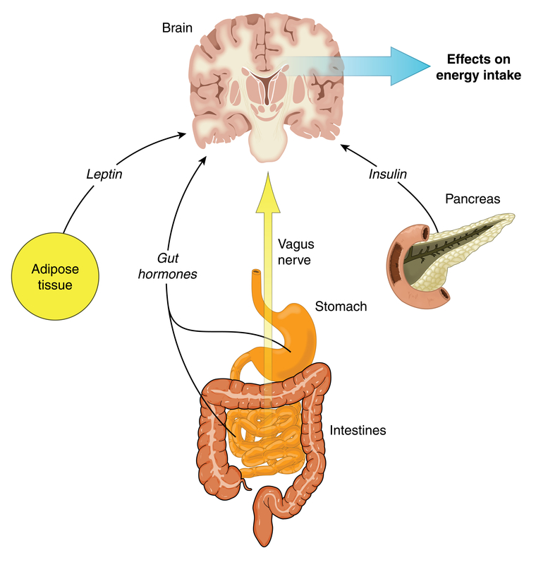 Leaky gut and the gut brain connection